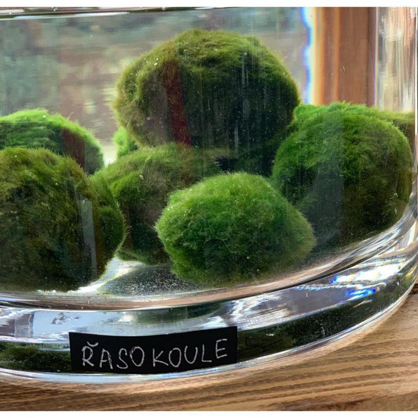 Řasokoule zelená – rozkošná vodní rostlinka