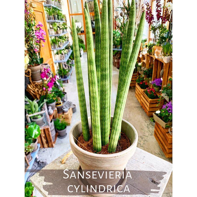 Sansevieria Cylindrica z Květinářství GALERIE Brno