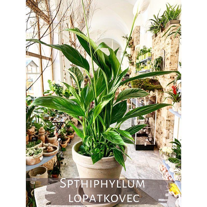 Spthiphyllum neboli Lopatkovec z Květinářství GALERIE Brno