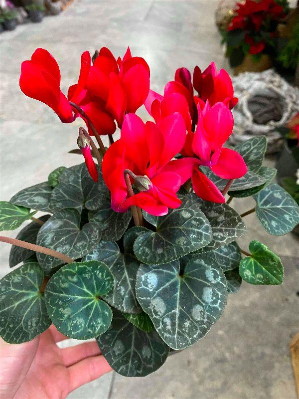 Brambořík - detail rostliny
