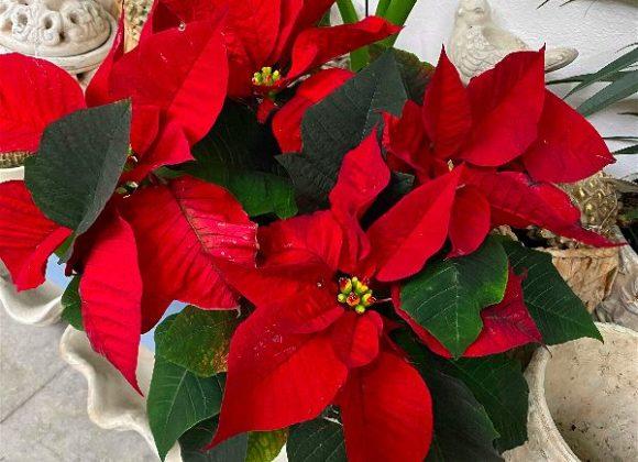 Živá vánoční růže, cesmína nebo vánoční kaktus jsou ty nejkrásnější vánoční dekorace