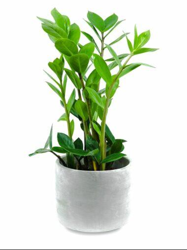 Zamioculcas Zamiifolia eshop